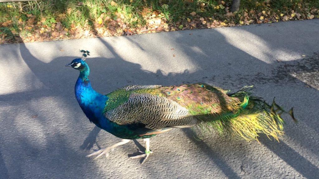 a peacock roaming around Skansen
