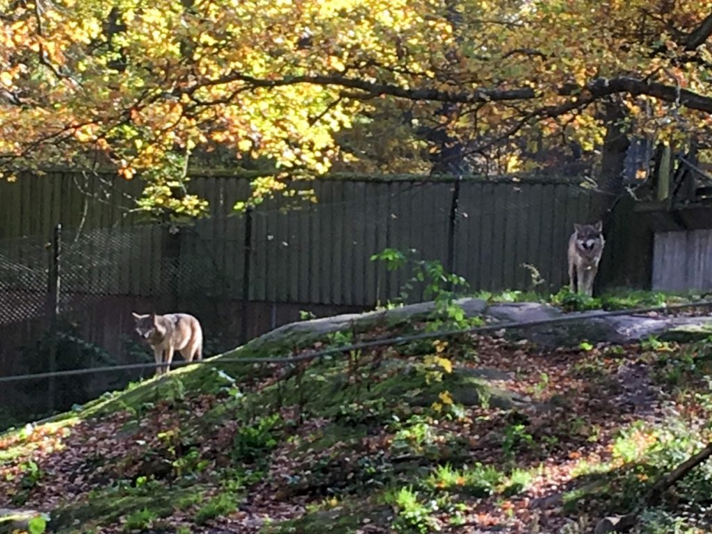 a couple of wolves at Skansen