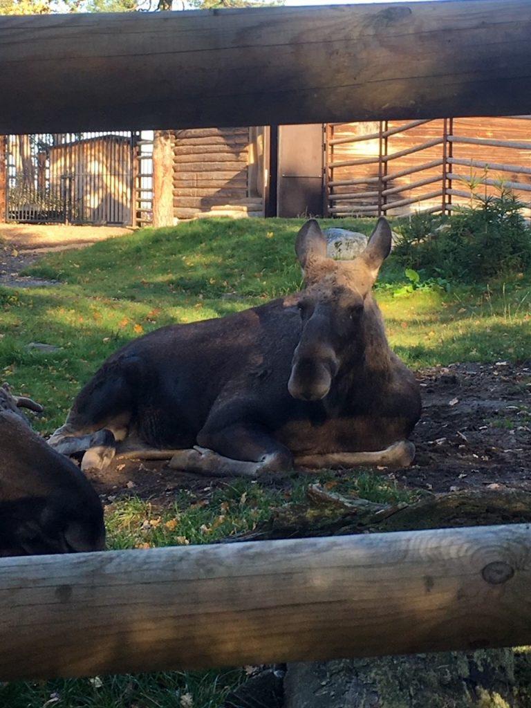 a moose relaxing at Skansen