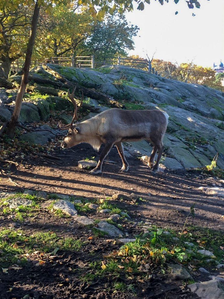 a reindeer at Skansen